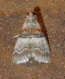 Sycamore Webworm Moth (5604)