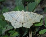 Oak Besma Moth (6885)