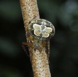 Araneus pegnia