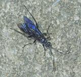 Coelichneumon sp.
