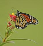 Brush-footed Butterflies (Nymphalidae)