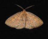 Black-dotted Ruddy Moth (6711)