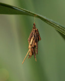 Abbot's Bagworm Moth (0454)