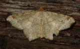 Red-headed Inchworm Moth (6342)