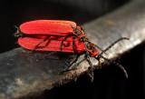 Golden Net-wing Beetles
