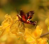 Nessus Sphinx Moth (7873)