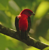 Scarlet Tanager Adult Male
