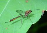 Anomalon species