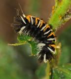 Milkweed Tussock Moth Caterpillar (8238)