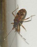 Dirt-colored Seed Bug