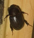 Sugarcane Beetle