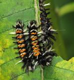 Milkweed Tussock Moth Caterpillars (8283)