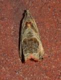 Olethreutes corylana (2805)