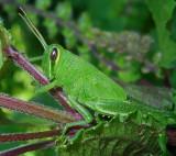 Obscure Bird Grasshopper Nymph