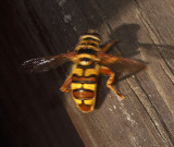 Yellowjacket Hover Fly