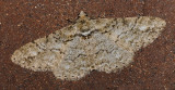 Double-lined Gray Moth (6594)