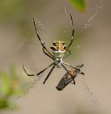 Orb Weavers (Family Araneidae)
