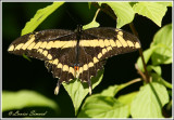 Grand porte-queue / Giant swallowtail / Papilio cresphontes Cramer