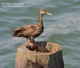 American Black Duck w/ chick