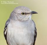 Northern Mockingbird (portrait)
