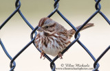 Central Park Sparrows