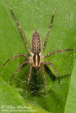 Funnel-web Spider aka Grass Spider