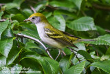 Chestnut-sided Warbler (1st fall)