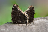Mourning Cloak (mating)
