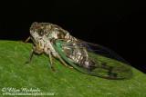 Swamp Cicada