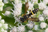 Weevil Wasp