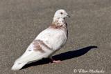 Rock Pigeon (Rock Dove)