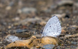 Azur printanier - Spring Azure - Celastrina ladon lucia m(4363 a)