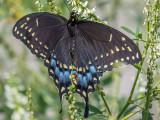Papillon du céleri - Black swallowtail - Papilio polyxenes asterius (4159 a)