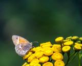 Satyre fauve - Inornate Ringlet - Coenonympha tullia inornata (4583 a)