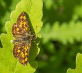 Échiquier - Arctic Skipper - Carterocephalus palaemon mandan (3982 a)