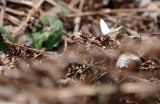 Piéride des crucifères - Mustard White - Pieris oleracea (4195 d)