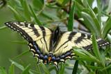 Papillon tigré du Canada - Canadian tiger swallowtail - Papilio canadensis (4176.1)