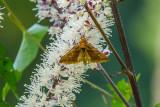 Papillon(sp) - Butterfly(sp)