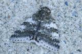 Likénée blanche - White Underwing - Catocala relicta (8803-1)