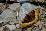 Petite Vanesse - Milbert's Tortoiseshell - Nymphalis milberti (4433)