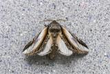 Faux-sphinx - Black-rimmed Prominent - Pheosia rimosa (7922)