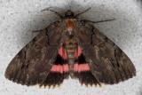 Likénée cara -  Darling Underwing - Catocala cara (8832)