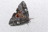 Likenée du chêne - Ilia Underwing - Catocala ilia (8801)