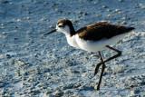 Juvenile Black-necked Stilt
