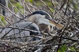 5.  Great Blue Heron at Wakodahatchee preserve.