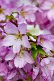 15.  Crabapple blossoms at Medford Leas.