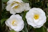 16.  Camellias at Medford Leas.