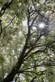 20.  The sun thru crabapple blossoms.