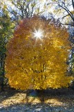 49.  Early sun through a fall colored tree.