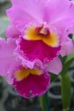 21.  Cattleya orchid.